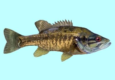 Suwannee Bass Fishing