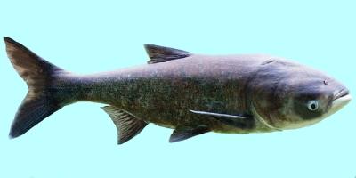 Bighead Carp Fishing