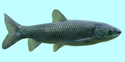 Black Carp Fishing