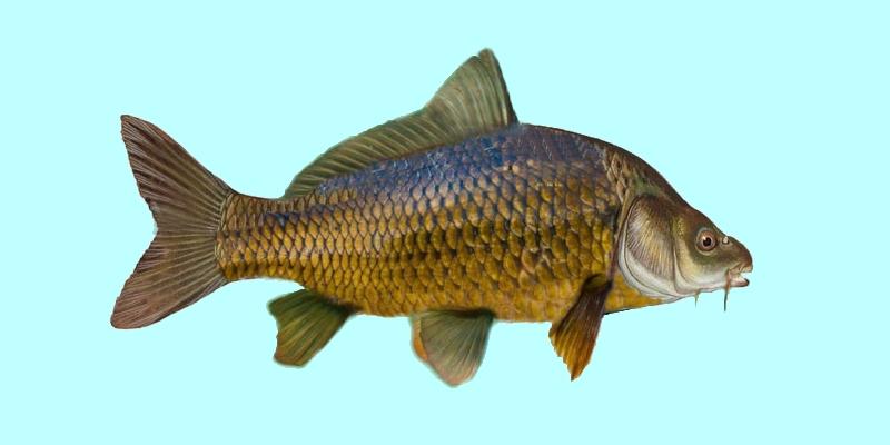 common carp fish. The Common carp or European