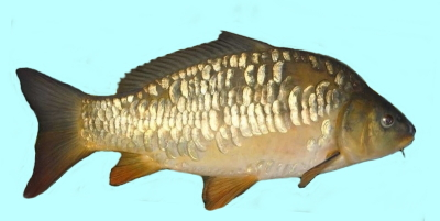 Mirror Carp Fishing
