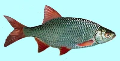 Rudd Fishing