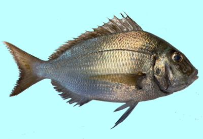 The Scup Porgy Fishing