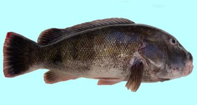 The Tautog Blackfish Fishing