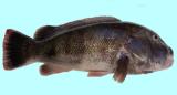 Tautog Blackfish Fishing