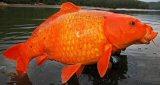 Interesting Fish Facts Biggest Carp