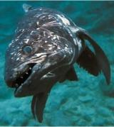 Interesting Fish Facts Coelacanth