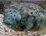 Interesting Fish Facts Most-Poison Pufferfish