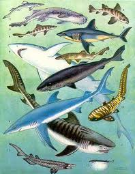 Interesting Fish Facts Sharks